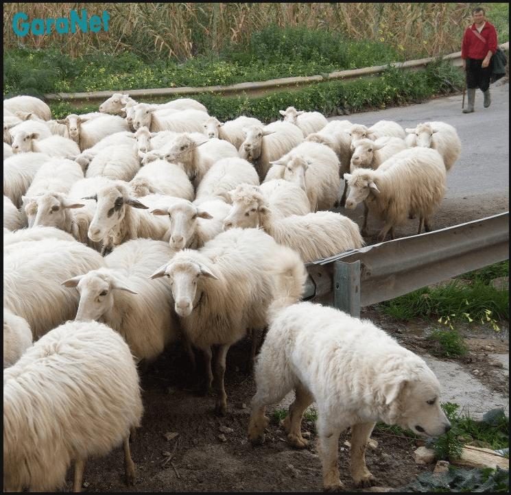 Pecore Segesta